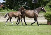 pic of foal  - a sporty brown foal standing next to a mare is offered for sale at auction - JPG