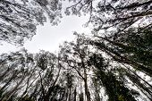 stock photo of eucalyptus trees  - Lookiing up to the sky through eucalyptus trees  - JPG
