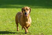 pic of dachshund dog  - Beautiful dachsund dog walking on grass in the sun - JPG