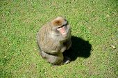 image of ape  - Barbary Ape sitting on grass and looking up - JPG
