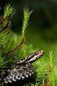 image of european  - Common Viper prepares for a throw - JPG