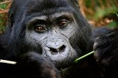 picture of gorilla  - Gorillas are the largest of the living primates - JPG