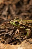 picture of amphibious  - The Southern Bell frog also known as the Growling Grass Frog  - JPG