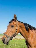 pic of brown horse  - Portrait of a brown horse with black mane and a bridle with erect ears signifying vigilance and attention - JPG