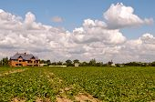 stock photo of sugar industry  - large field of sugar beets ready to be harvested - JPG