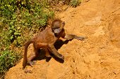 picture of guinea  - Young Guinea baboon in a state of freedom - JPG
