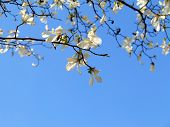 picture of magnolia  - Authentic landscape magnolia flowers against the sky backlit as a backdrop for the staging of promotional songs and text - JPG