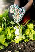 pic of spade  - Closeup photo of woman spud lettuce garden bed with metal spade - JPG