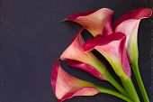 stock photo of calla  - Pink calla lilly flowers on black  background - JPG