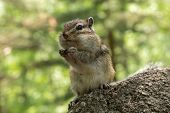foto of chipmunks  - Chipmunk with sunflower seed in paws standing on a stone in the sunshine and smiling - JPG