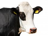 picture of cow head  - Head of black and white cow isolated on white background - JPG