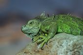 stock photo of lizard skin  - A large green Lizard sitting on a rock - JPG