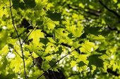 foto of canada maple leaf  - Green maple leaves in spring Canadian forest - JPG