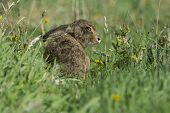 image of hare  - A Brown Hare sitting in the grass - JPG