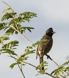 picture of bulbul  - beautiful white vented bulbul on a green tree - JPG