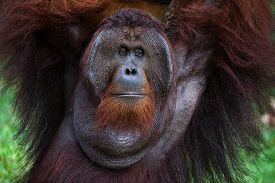 stock photo of orangutan  - The adult male of the Orangutan - JPG