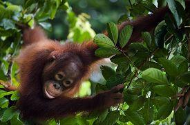 stock photo of orangutan  - Young Orangutan  Pongo pygmaeus wurmbii  - JPG