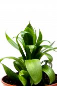 picture of sansevieria  - object on white  - JPG