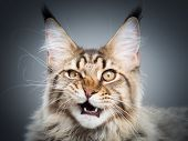 Portrait of domestic black tabby Maine Coon kitten - 5 months old. Playful striped kitty looking at  poster