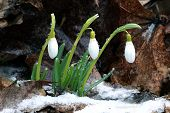 picture of snowbell  - Spring - JPG