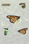 stock photo of monarch butterfly  - A compilation of the life cycle of the Monarch butterfly - JPG