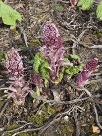 image of butterbur  - pink flowers of butterbur petasites hybridus in springtime - JPG