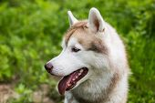 Profile Image Of Beautiful Dog Breed Siberian Husky Sitting In The Grass On Sunny Day. Portrait Of F poster