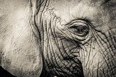 Elephant Close-up With Sad Expression. The Head Of An Elephant Close-up. Vintage, Grunge Old Retro S poster