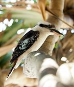 picture of blue winged kookaburra  - Australian Kookaburra bird - JPG