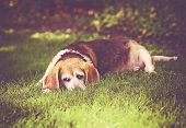 a cute senior beagle looking off in the distance in a park or backyard on fresh green lawn toned wit poster