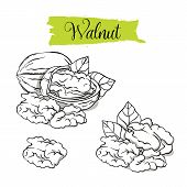 Hand Drawn Sketch Style Walnut Set. Single, Group Seeds, Walnut In Nutshells Group. Organic Nut, Vec poster