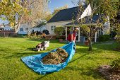 image of tarp  - Man pulling tarp full of leaves and grass - JPG