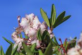 Pink Rhododendrons, Rhododendron Ferrugineum, Against A Bright Blue Sky In Oregon. poster
