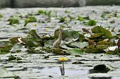 Little Heron Searches For Prey On The River In Thickets Of Water Lilies ( Nuphar Plant). The Little  poster