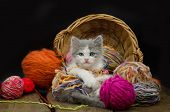 Portrait Of Cute Grey Pretty Kitten. Funny Kitten And Knitting poster