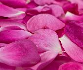 stock photo of rosepetals  - beautiful background of deep pink rose petals