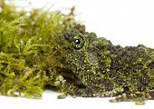 Mossy Frog next to Moss, Theloderma corticale, also known as a Vietnamese Mossy Frog, or Tonkin Bug-eyed Frog, close up against white background poster