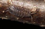 image of woodlouse  - Common Woodlouse insect in detail on wood - JPG