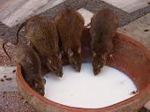 picture of foursome  - Holy Rats drinking milk offering at Karni Mata Hindu temple in India - JPG