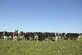 stock photo of pampas grass  - Cows grazing in the pampas - JPG