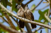 picture of babbler  - A pair of brown babblers looking up interrupted from preening - JPG