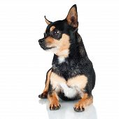 stock photo of chihuahua mix  - black chihuahua dog lying down on white - JPG