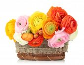 Ranunculus (persian buttercups) in basket, isolated on white