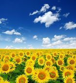image of sunflower  - sunflowers field on cloudy blue sky - JPG