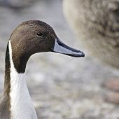 A portrait of a Northern Pintail Drake (Anas acuta).