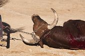 stock photo of baeza  - Dragging of the bull died after the fight in the bullring of Baeza - JPG