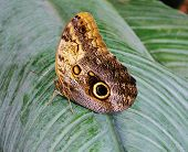 picture of hughes  - Close up of beautiful Owl butterfly with Hugh eyespots - JPG