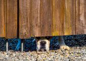 stock photo of inquisition  - Inquisitive dog looking under a fence at passers by - JPG