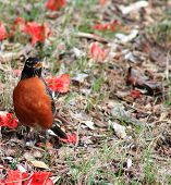 stock photo of red robin  - Single - JPG