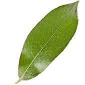 image of weeping  - One green leaf of silver weeping willow isolated on white background  - JPG